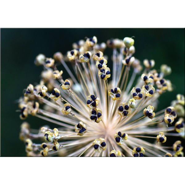 Stampa su tela con immagini floreali Leek | Quadretti con fiori