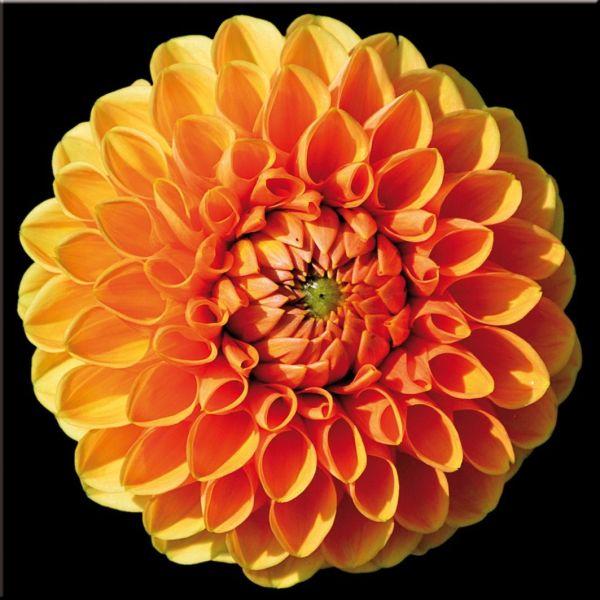 Quadro moderno stampa su tela floreale Dahlia | Quadri di fiori